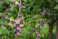 Cultivating plums on tree Royalty Free Stock Photo
