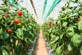 Cultivation bell peppers in a commercial greenhouse Royalty Free Stock Photo