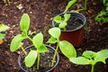 Cultivation of cucumber plants in garden Stock Photo