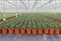 Cultivation of indoor plants in a dutch greenhouse big Stock Images