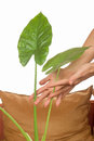 Cultivation of indoor plants gently with hands Royalty Free Stock Photo