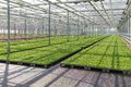 Cultivation of plants in a dutch greenhouse indoor Stock Photos