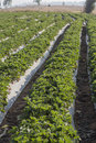 Cultivation strawberry in phetchaboon thailand Royalty Free Stock Photos
