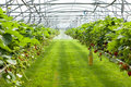 Culture in a greenhouse strawberry Royalty Free Stock Photo