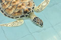 Cultured sea turtle in first aid pool Stock Image