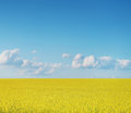 Cultures de canola sur le ciel bleu Photos stock