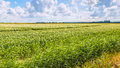 Cumulus clouds above a Dutch potato field Royalty Free Stock Photo
