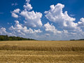 Cumulus clouds over a field of ripe wheat Royalty Free Stock Photo