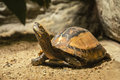 Cuora galbinifrons (turtle) Royalty Free Stock Photo