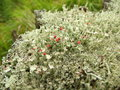 Cup lichen macrophoto of the czech republic Royalty Free Stock Images