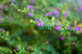 Cuphea hyssopifolia mexican heather elfin herb or false heather purple flowers in the garden it is also known as Stock Photography