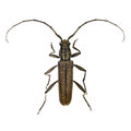 Cupressus long horned beetle isolated on the white background Royalty Free Stock Image