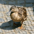 Curios duck Royalty Free Stock Photography