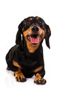 Curios funny Dachshund dog Royalty Free Stock Images