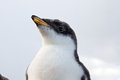 Curios gentoo penguin chick falkland islands Royalty Free Stock Images