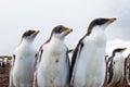 Curios gentoo penguin chick falkland islands Stock Image