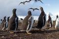 Curios Gentoo Penguin chick Royalty Free Stock Photo