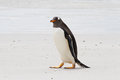 Curios gentoo penguin falkland islands Stock Images