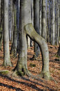 Curiosity beech tree in spring forest Stock Photography
