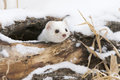 Curiosity killed the cat short tailed weasel looking out of den via hole in a log Stock Photography