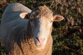 Curious Australian Sheep Royalty Free Stock Photo
