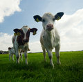 Curious baby cows Royalty Free Stock Photos