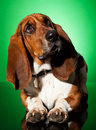 Curious basset dog Royalty Free Stock Photos