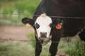 Curious black angus steer and white face behind a barbed wire fence Stock Image