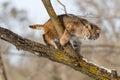 Curious bobcat Royalty Free Stock Photo