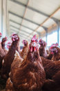 Curious brown hen on an organic chicken farm free range Stock Photography
