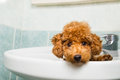 Curious brown poodle puppy getting ready for bath in basin Royalty Free Stock Photo