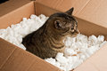 Curious cat box in cardboard of packing peanuts Stock Photo