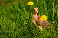 Curious chicken between dandelions on spring Royalty Free Stock Images