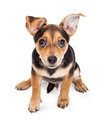 Curious Chihuahua Mixed Breed Three Month Old Puppy Sitting Royalty Free Stock Photo