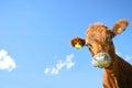 Zvedavý krava