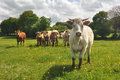 Curious cow charolais special breed in france comes forward Stock Photo