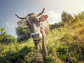 Curious cow on the  green meadow Royalty Free Stock Photo