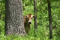 Curious cow peeks out from behind a tree Royalty Free Stock Photography