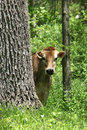 Curious cow peeks out from behind a tree Royalty Free Stock Images