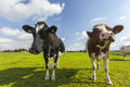 Curious cows in green field Royalty Free Stock Photo