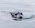 Curious curious seal looking for food at fishermans warf victoria bc Stock Images