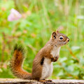 Curious cute American Red Squirrel posing watchful Royalty Free Stock Photography