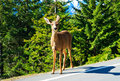 Curious deer, Olympic National Park, Washington Royalty Free Stock Images