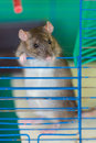 Curious domestic rat in a cage close up Stock Photography