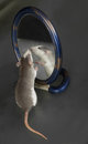 Curious domestic rat looking in the mirror Royalty Free Stock Photos