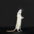 Curious domestic white rat portrait of a Royalty Free Stock Photo