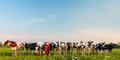 Curious Dutch milk cows in a row Royalty Free Stock Images