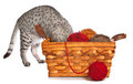 Curious Egyptian Mau Royalty Free Stock Images