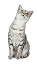 Curious Egyptian Mau tilts head Stock Photo