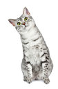 Curious Egyptian Mau tilts head left Stock Photos